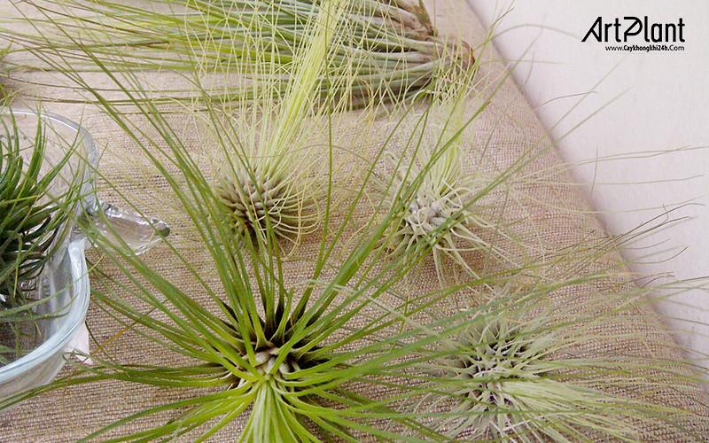 art plant | cay khong khi | tieu canh khong khi | terrarium | khong khi sao bang