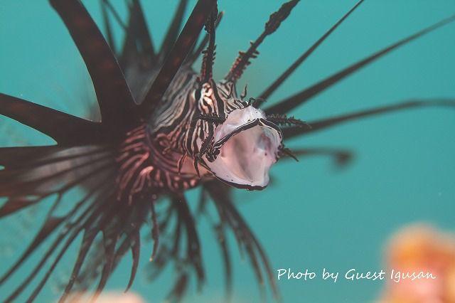 あくび?ハナミノカサゴ幼魚