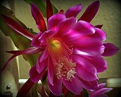 cactus family(0.0), flower(1.0), epiphyllum(1.0), plant(1.0), macro photography(1.0), flora(1.0), epiphyllum crenatum(1.0), pink(1.0), petal(1.0),