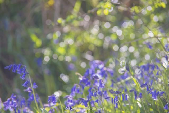 Bierley bluebell bokeh-lisciousness