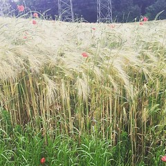 small grains with poppies and powerlines-- but no fungicide trails, a rarity this wet wet spring #noticepoison
