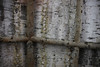 Birch Ceiling