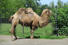 Camels drinking water (2)