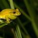 Undescribed Species/Scinax ruber by antonsrkn