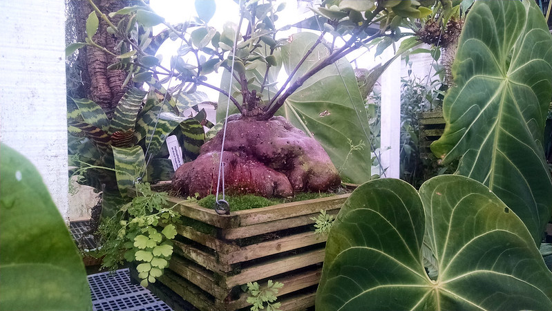 Hydnophytum ant plant species.