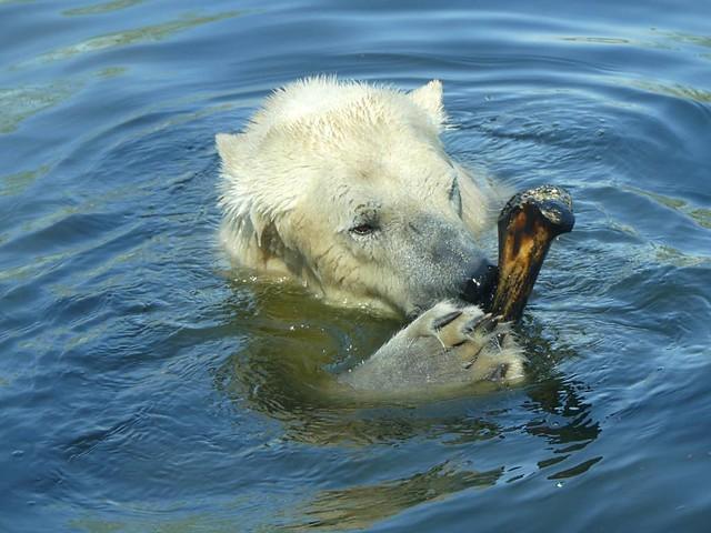 Eisbären, Dierenrijk Nuenen