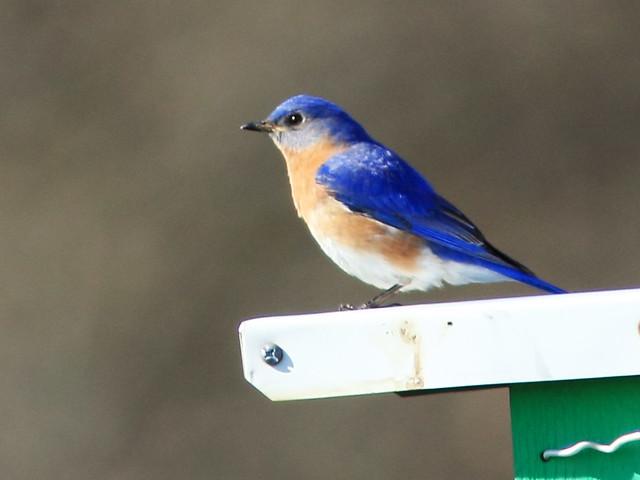 Eastern Bluebird 2-20150501