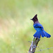 Steller's jay - IM2K15-262 EXP2 by Thy Photography