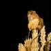 Harvest Mouse-1 by Drynham