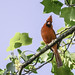 Small photo of Virginia Cardinal