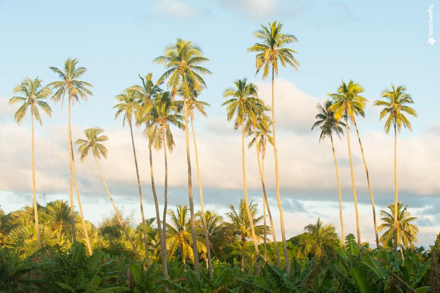 Dusk. sunset, Rarotonga, coconut palms