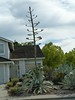 Not sure what this cactus is called, but it is very tall. Another example of a frontyard not being maintained for the last 10 years.