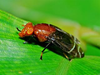 Platystomatid Fly (Peltacanthina sp.)