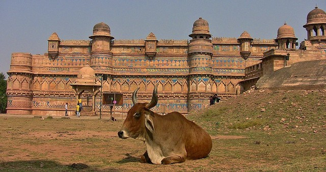 INDIEN, Fort Gwalior and a holy cow in front, serie, 13622/6586
