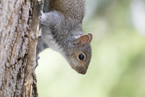 Baby gray squirrel
