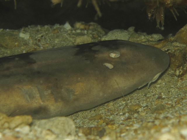 Nærbilde av haien