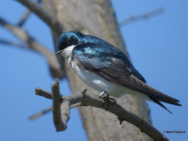 Tree Swallow, Banded