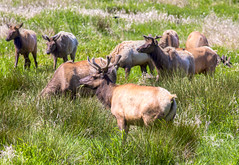 animal, deer, grass, herd, grazing, fauna, meadow, pasture, wildlife,
