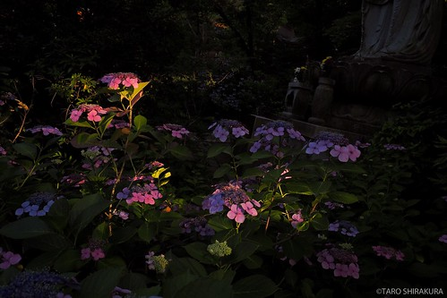 flower あじさい hydrengea olympus tokyo omd 日本 夕焼け japan omdem5mk2
