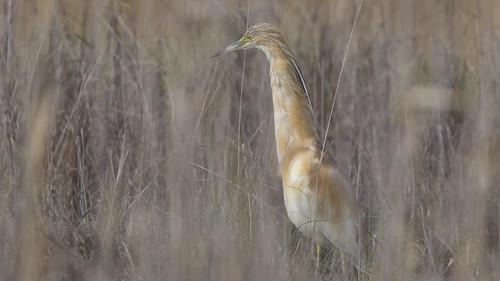 Alaca balıkçılı (Ardeola ralloides), Squacco heron