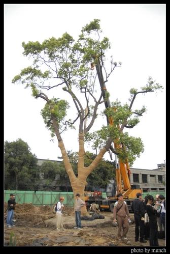 這是松菸大樟樹的最後身影!移植後,最後死亡。攝影:Munch