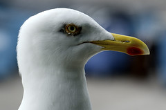 Gull Head