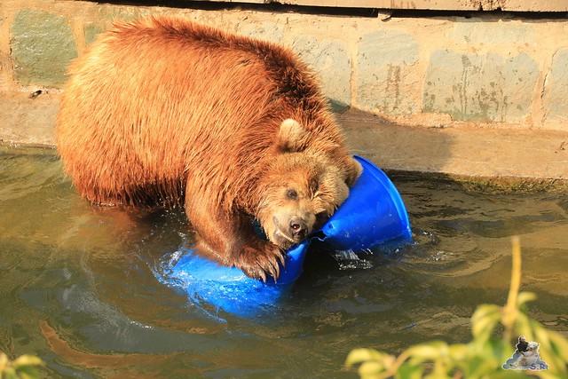 Eisbär Fiete im Zoo Rostock 04.05.2015 339
