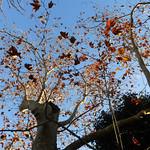 alberi a daila