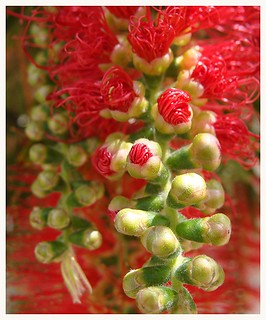 ♡ red blossom
