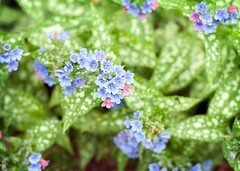 Blue and Pink Pulmonaria Flowers