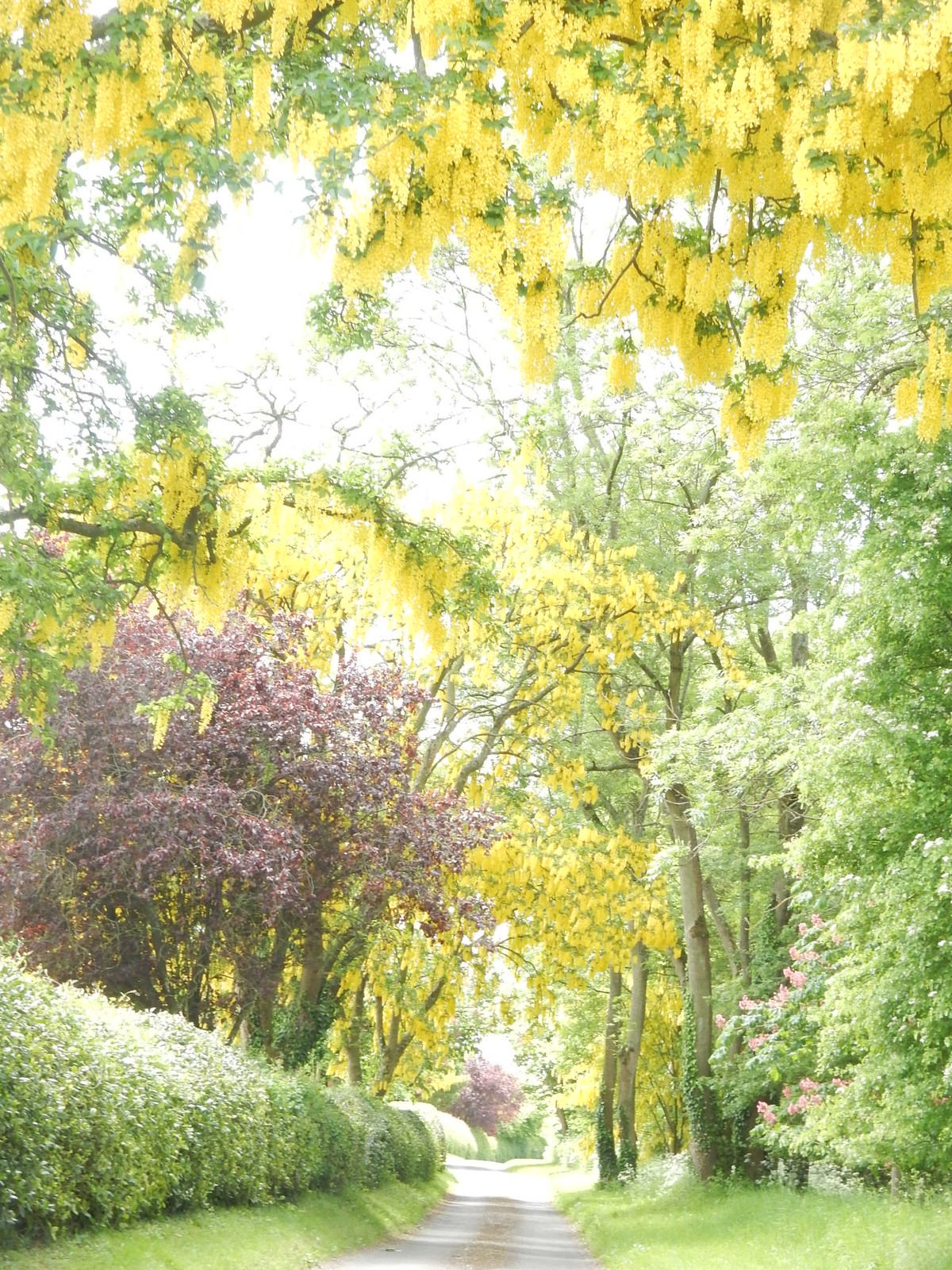 Laburnum lined lane near Britwell Priors, point 36. Whitchurch to Andover