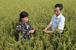 Rice grown in Vietnam