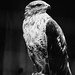 Ferruginous Hawk by Jaimie Wylie Photography