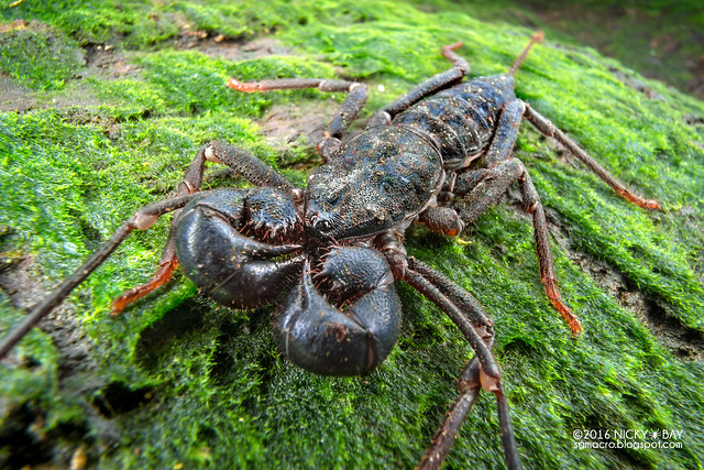 Whip scorpion (Thelyphonida) - DSC04375