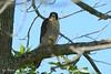 Big-footed Falcon (Peregrine)