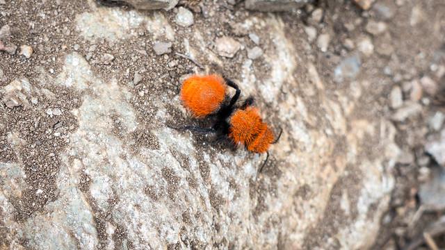 Velvet ant, m351