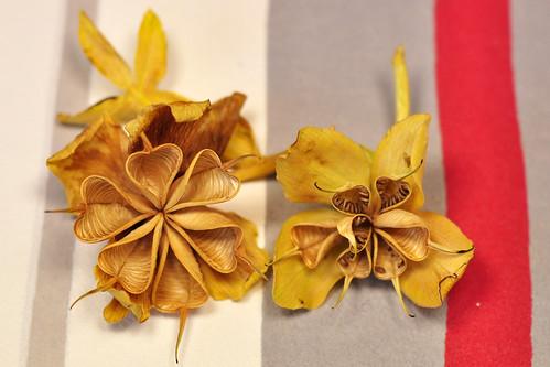 Christrose Schneerose Helleborus niger Balgfrüchte Wirtel