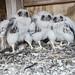 Verrazano Bridge Falcons by MTAPhotos