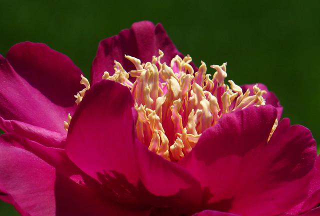 Paeonia lactiflora 'West Elkton'