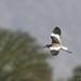 Doug Gochfeld has added a photo to the pool:White-tailed Lapwing in flight. Yotvata sewage, Arava Valley, Israel. 03/13/15.ebird.org/ebird/view/checklist?subID=S22330351