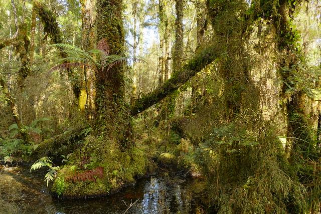 Kahikatea Swamp