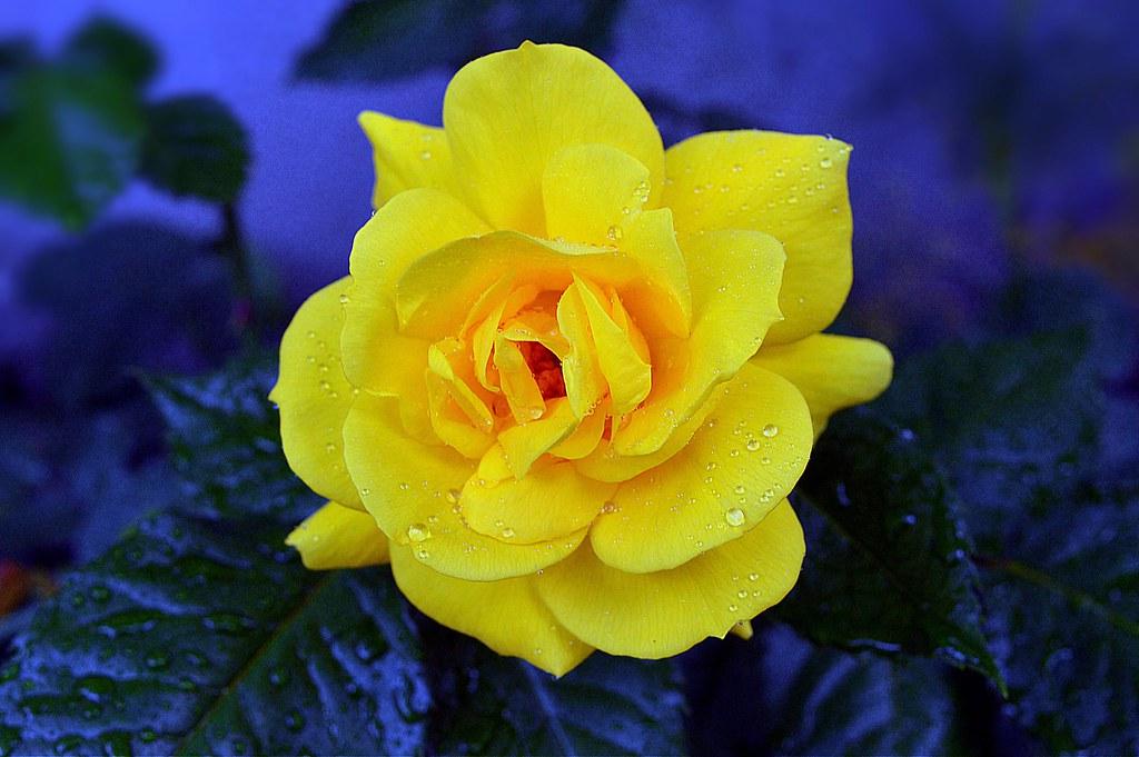 Good Morning From My Garden Yellow Rose Annae Flickr