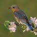 Eastern bluebird female by Phiddy1