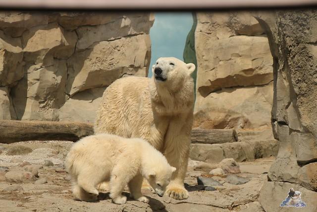 Eisbär Lili im Zoo am Meer Bremerhaven 14.05.2016 Teil 1 07