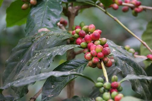coffee beans berries tamilnadu kodaikanal southindia