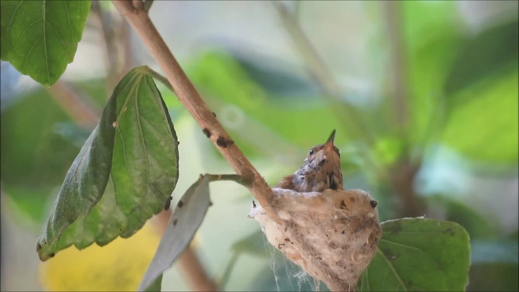 Hummingbird Fledging: The Second One Leaves The Nest