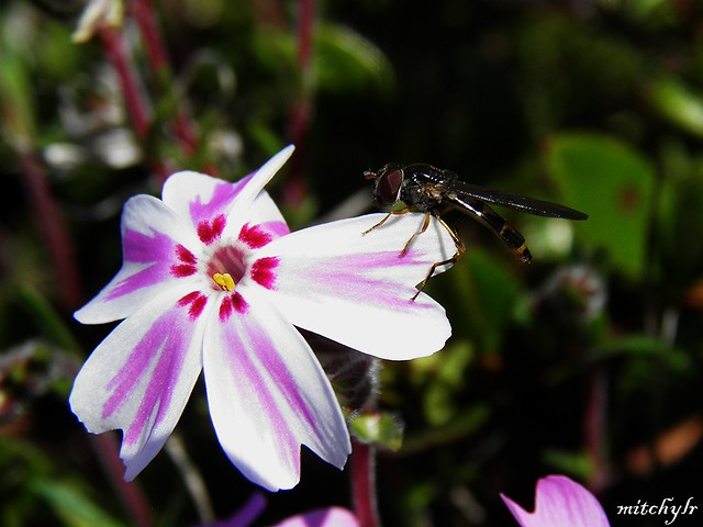 Flying Visit To Phlox