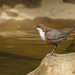 Dipper 12th May (1 of 1) by den9112