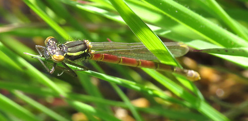 Large Red Damselfly Pyrrhosoma nymphula Tophill Low NR, East Yorkshire April 2016
