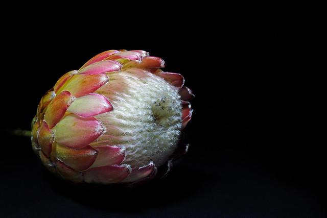 366 - Image 148 - Protea flower...